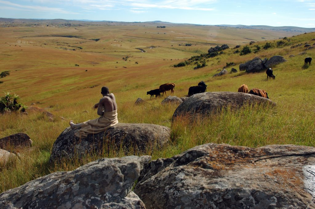 Cattle graze in the fields below the Nelson Mandela Museum, in Qunu, watched by a young man,